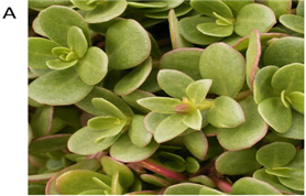 Phytochemicals and Antioxidant Properties of Solvent Extracts from Purslane (Portulaca oleracea L.):
